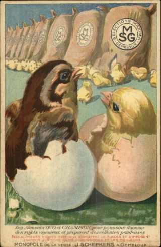 Hatching Chicks Bird Feed Food Smg Selections Maxima Gembloux Postcard